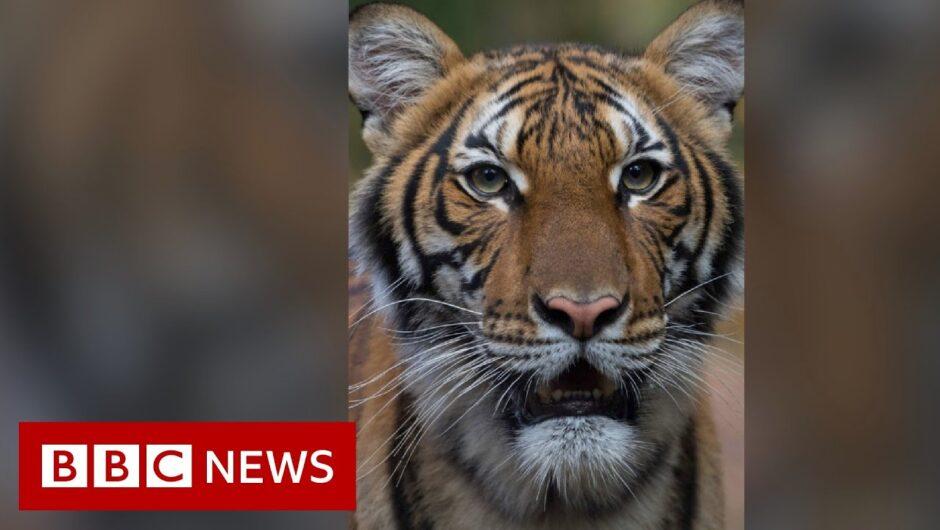 Coronavirus: Tiger at Bronx Zoo tests positive for Covid-19 – BBC News